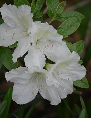 Photograph - White Azalea 14-1 by Maria Urso