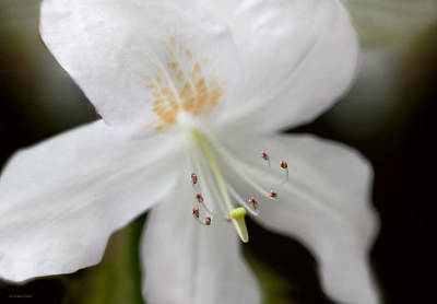 Photograph - White Azalea Flower Whispers by Jennie Marie Schell