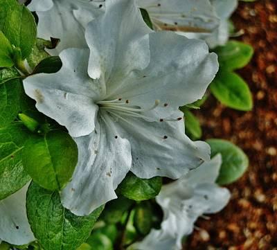 Photograph - White Azalea by VLee Watson