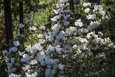 Flower Blooms Photograph - White Azaleas  by Garry Gay