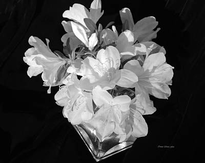 Photograph - White Azaleas On Black by Connie Fox
