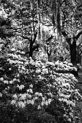 White Azaleas Paint Art Print by Diana Powell