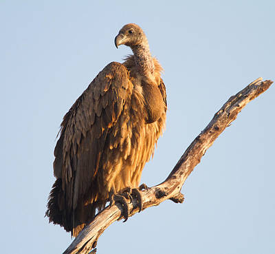Photograph - White Backed Vulture by Craig Brown