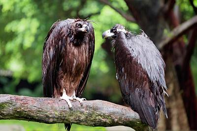 Vulture Photograph - White-backed Vultures In The Rain by Pan Xunbin