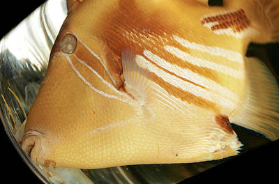 Marine One Photograph - White-banded Triggerfish by Natural History Museum, London