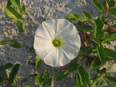 Photograph - White Beach Flower by Ellen Meakin