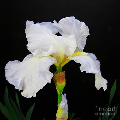 White Bearded Iris Art Print by Scott Cameron