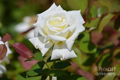 White Beauty Original
