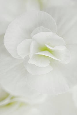 Begonia Photograph - White Begonia by Cora Niele