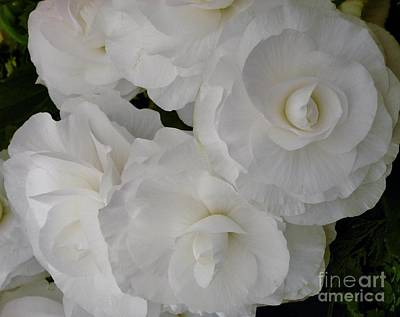 Photograph - White Begonia by Joan-Violet Stretch