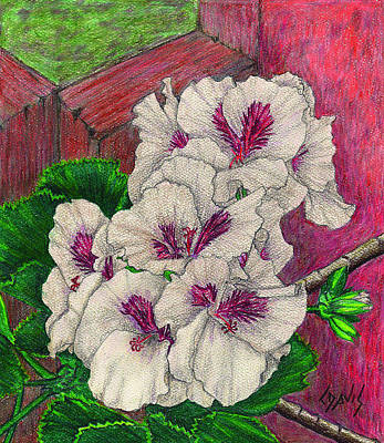 Drawing - White Geranium by Lew Davis