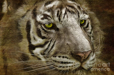 White Bengal Art Print by Lois Bryan