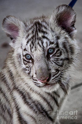 Photograph - White Bengal Tiger Cub by Debra K Roberts