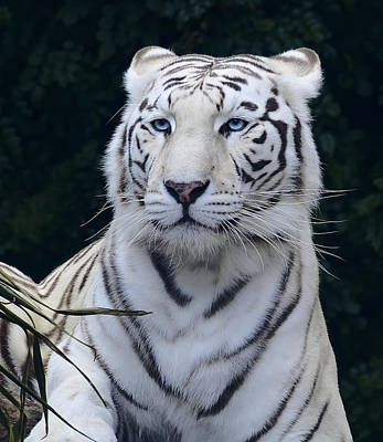 Lions And Tigers Photograph - Blue Eyed White Bengal Tiger by Daniel Hagerman