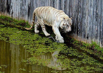 White Bengal Tiger Art Print by Venetia Featherstone-Witty