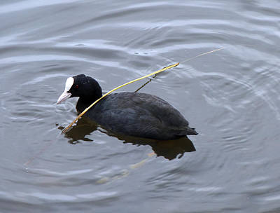 Photograph - white-billed American coot by Baato