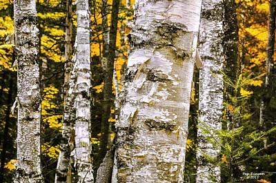 Photograph - White Birch Forest by Peg Runyan