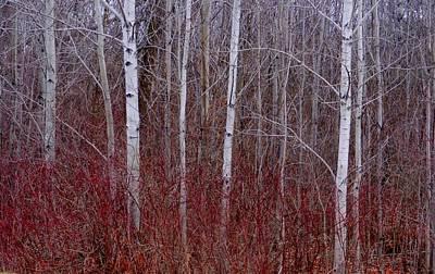 White Birch In The Adirondacks Art Print
