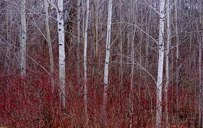 Art Print featuring the photograph White Birch In The Adirondacks by Karen Molenaar Terrell