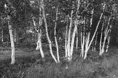 Photograph - White Birch Trees by Brian Chase