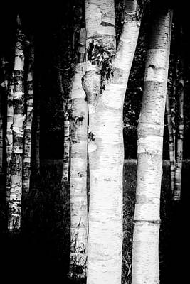 Abstract Animalia Royalty Free Images - White birch trees in dark forest Royalty-Free Image by Matthias Hauser