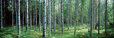 White Birches Aulanko National Park Print by Panoramic Images
