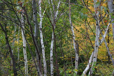 White Birches In The Woods Art Print by Denyse Duhaime