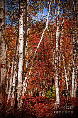 Fall Photograph - White Birches Of Elk County by Tom Gari Gallery-Three-Photography
