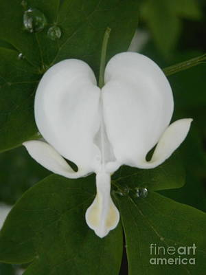 Photograph - White Bleeding Heart by Margaret McDermott