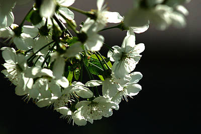 Photograph - White Blossom by Emanuel Tanjala