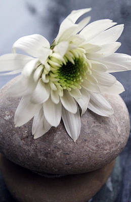 White Blossom On Rocks Art Print by Linda Woods