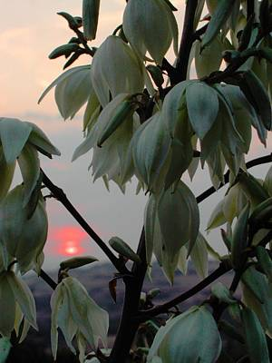 White Blossom Sunset Art Print by Dorothy Berry-Lound