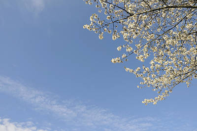 Photograph - White Blossoms And Blue Sky - Spring Is Here by Matthias Hauser
