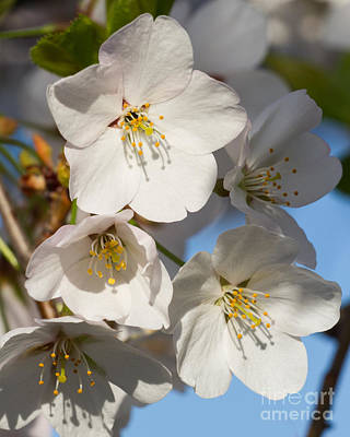 White Blossoms Art Print by Dale Nelson