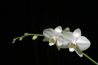 Photograph - White Blossoms by David Rich