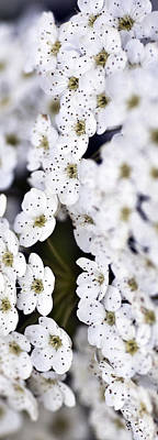 Garden Images Photograph - White Blossoms by Frank Tschakert