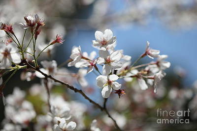 Photograph - White Blossoms by Nicholas Burningham