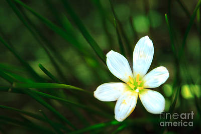 Photograph - White Blue-eyed Grass Flower by Peta Thames