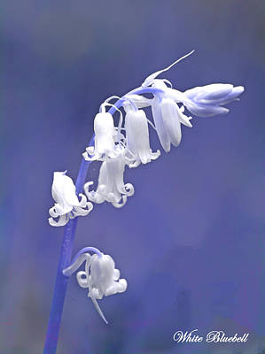 Photograph - White Bluebell by David Birchall