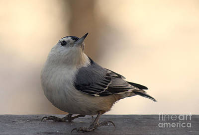 Photograph - White Breasted Nuthatch 2 by Sandra Clark