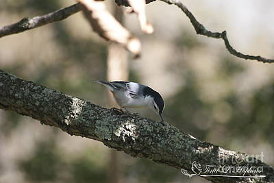 Photograph - White-breasted Nuthatch 20121003_14 by Tina Hopkins
