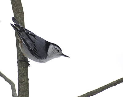 Photograph - White Breasted Nuthatch by Alan Norsworthy
