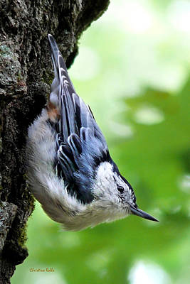 Photograph - White Breasted Nuthatch by Christina Rollo