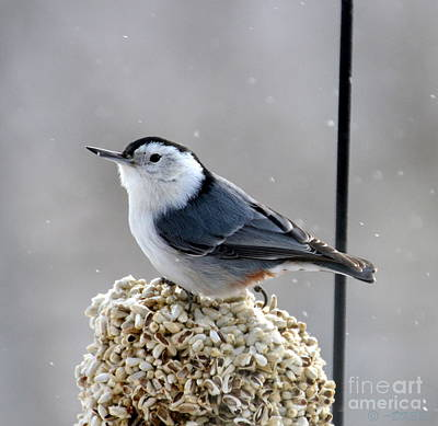 Photograph - White-breasted Nuthatch by Dorrene BrownButterfield