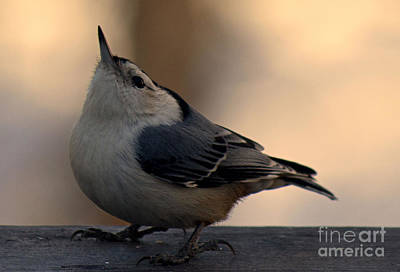 Photograph - White Breasted Nuthatch by Sandra Clark