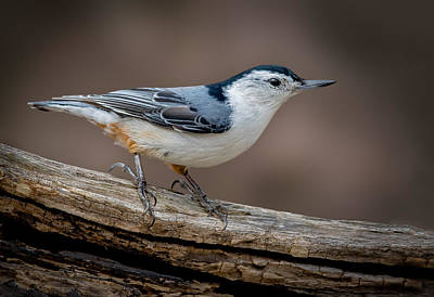 Print featuring the photograph White Breasted Nuthatch by Steve Zimic