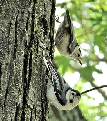 White Breasted Nuthatches Art Print by Marilyn Smith