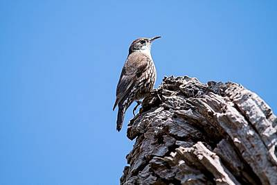 Photograph - White Browed Tree Creeper by David Rich