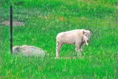 White Buffalo Art Print by Larry Bodinson