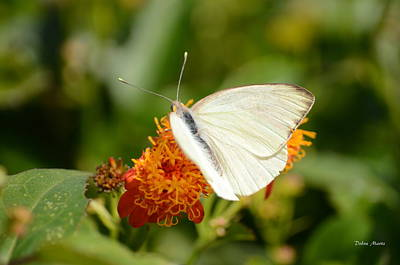 White Butterfly On Mexican Flame Art Print by Debra Martz